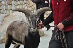 Takin de Sichuan en el ¼ ŒSichuan, China de Lixian Countyï El retrato de una cabra con los claxones grandes imágenes de archivo libres de regalías