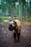 Takin goat-cow in Bhutan. Takin goat-cow at forest in Bhutan. Takin are found in bamboo forests at altitudes of 1000 to 4500 metres Stock Photos