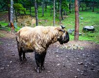 Takin goat-cow in Bhutan. Takin are found in bamboo forests at altitudes of 1000 to 4500 metres Stock Photos