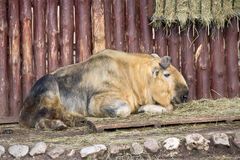 Takin. Having a rest male of takin is in the open-air cage of zoo Stock Photo