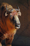 Takin. Himalayan antelope close up portrait Stock Photo