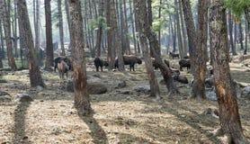 Takin jest krajowym zwierzęciem Bhutan Fotografia Stock