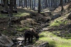 Takin jest krajowym zwierzęciem Bhutan Fotografia Royalty Free