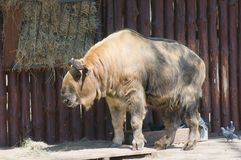 Takin (Latin Budorcas taxicolor) Royalty Free Stock Image