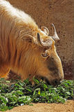 Takin. Mature Takin Bull Eating Close Up Stock Image