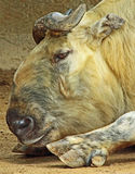 Takin. Mature Takin Bull Laying Close Up Stock Image