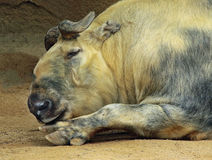 Takin. Mature Takin Bull Laying Napping Stock Photos