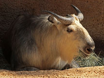 Takin. Mature Takin Feeding In Sunshine Royalty Free Stock Photos