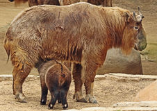 Takin. Mature Takin Mother Nursing Calf Stock Photography