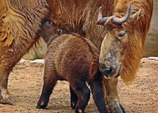 Takin. Mature Takin Mother Nursing Calf Royalty Free Stock Photos