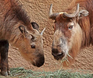 Takin. Mature and Young Takins Feeding Stock Photo