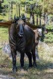 Takin, national animal of Bhutan Stock Image