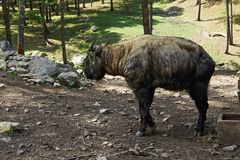 Takin National Animal Bhutan Stock Image