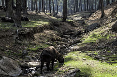 Takin is the national animal of Bhutan Royalty Free Stock Photography