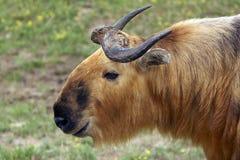 Takin (parente del bue di muschio) Fotografia Stock