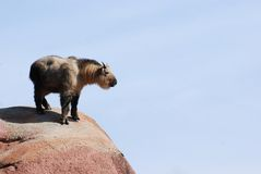 Takin sul picco di montagna Fotografia Stock Libera da Diritti