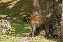 Takin, Thimphu, Bhutan Obraz Royalty Free