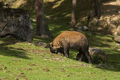 Takin, Thimphu, Bhutan Royalty Free Stock Photo