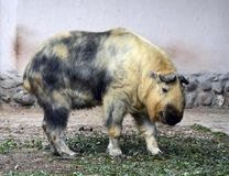 Takin w Moskwa zoo Zdjęcie Royalty Free