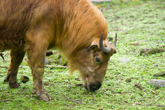 Takin was eating grass Stock Photo