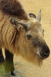 Takin. Young Takin Close Up Head Detail Royalty Free Stock Photography