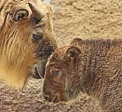 Takin. Young Takin And Mother Bonding Stock Image
