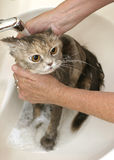 Taking a bath. Female hands washing a cat in a bathroom sink stock image