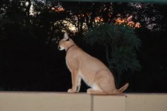 Caracal / Lynx at sunset with his humans stock photography