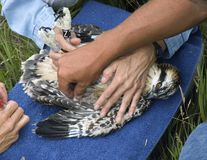 After Taking Blood from Juvenile Osprey (Pandion haliaetus) royalty free stock image