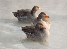 Taking a break. Three greylag geese take a break on the ice of a frozen lake Royalty Free Stock Photo