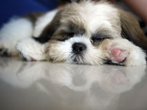 Taking a Break. A cute puppy taking a nap royalty free stock images