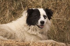 Taking a Break. Herding dog resting on a bed of hay Royalty Free Stock Image