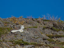 Taking a break. A baby Dall Sheep takes a rest in the mid-day, Alaskan sun Royalty Free Stock Photos