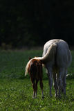 Taking care 2. A protecting mother horse tail Royalty Free Stock Photography
