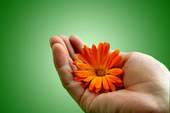 Taking care. Hand holding a flower with care Royalty Free Stock Photo