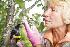 Taking care of apple tree in backyard garden Stock Photography