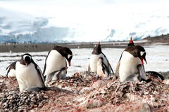 Taking care of baby penguin Royalty Free Stock Photos