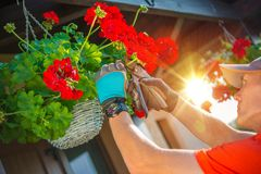 Taking Care of Flowers Royalty Free Stock Image