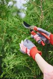Taking care of thuja branches Stock Photo