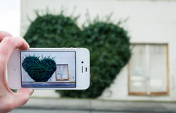 Taking cell phone photo of an ivy heart on a building. Stock Photo