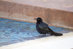 Blackbird taking a dip in the pool-Stock Photos Royalty Free Stock Images