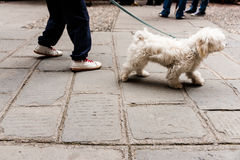 Taking dog for walk on European cobbled street Stock Photography
