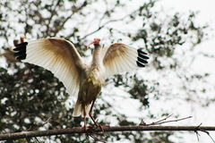 Taking flight. Water bird taking flight off branch Stock Photography