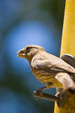 Taking Food. A fun little bird with seed in mouth snatched from the feeder he is perched royalty free stock photo