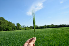 Taking in hand wheat spikes Stock Photo