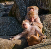 Taking life easy. A baboon lays back and relaxes as another tends to his needs Stock Photo