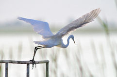 Taking off. A heron taking off on the field stock photography
