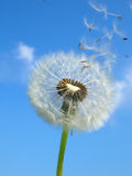 Taking Off. Dandelion Seeds taking of to find a new place to grow Stock Photos