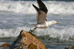Taking off... Kelp gull in flight stock photos