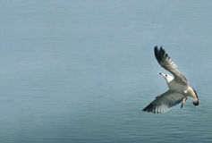 Taking off. Seagull is making a lift off  water surface Royalty Free Stock Image